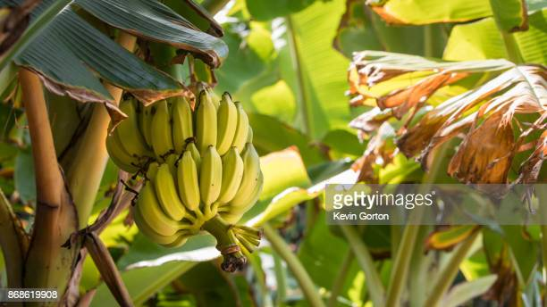 bananas on plant - banana tree stock pictures, royalty-free photos & images