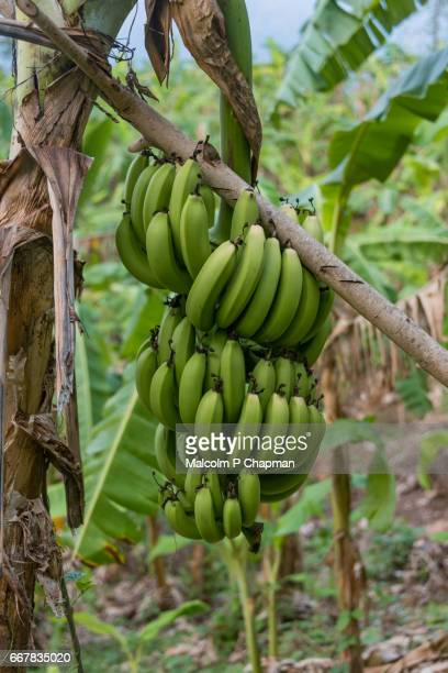 Bananas ripening on tree on a plantation, Palakkad, Kerala