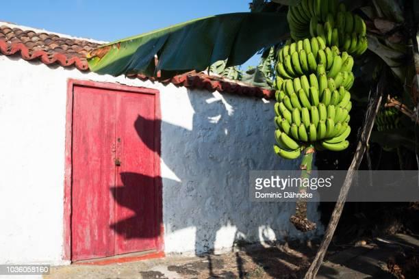 Bananas with old house in Breña Baja, La Palma (Canary Islands)