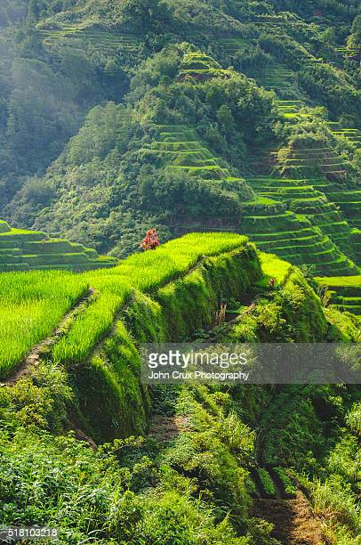 Banaue rice cliff