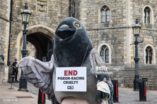 A bandaged giant pigeon holds a sign reading End PigeonRacing Cruelty at a PETA UK protest outside Windsor Castle on 1st July 2020 in Windsor United...