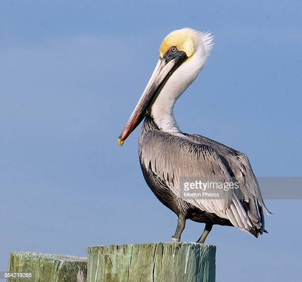 banded brown pelican - brown pelican stock photos and pictures