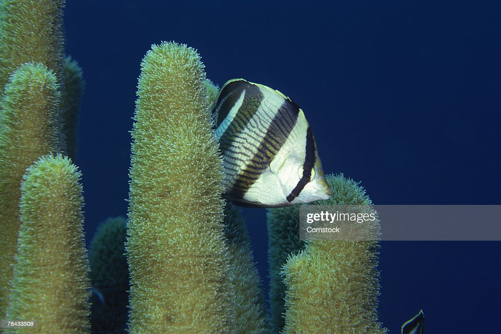 Banded Butterflyfish and pillar coral : Stockfoto