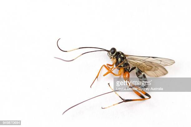 banded caterpillar parasite wasp - parasite stock photos and pictures