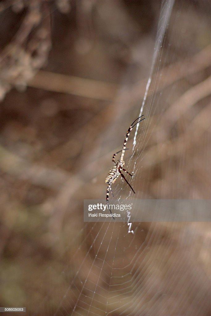 Banded garden spider : Foto de stock