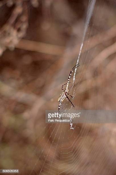 banded garden spider - iñaki respaldiza stock pictures, royalty-free photos & images