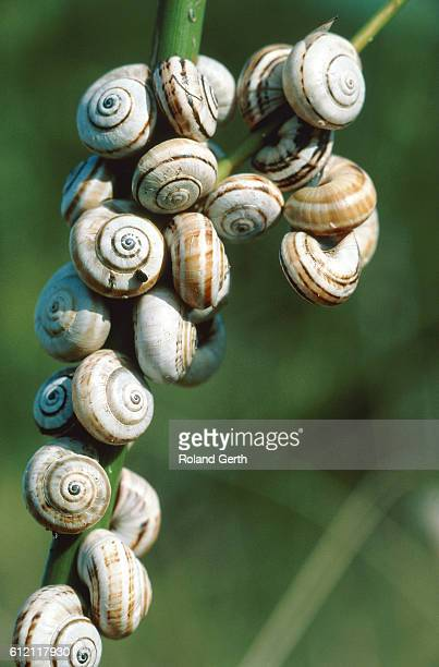 banded grove snails on a branch - medium group of animals stock pictures, royalty-free photos & images