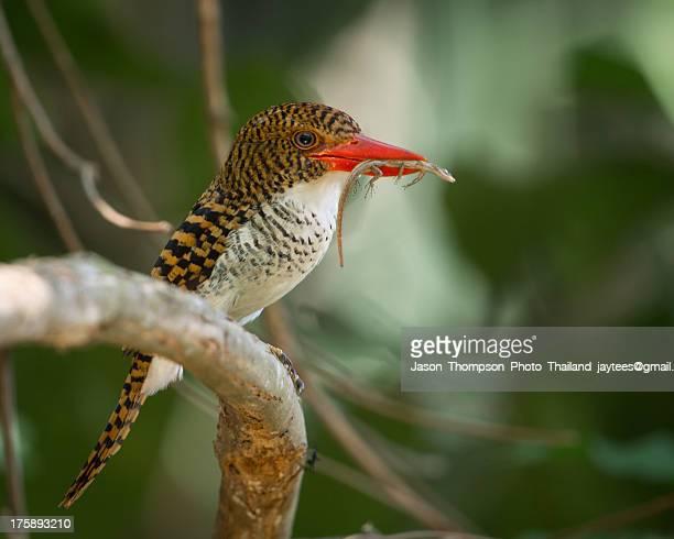 Banded Kingfisher (Female)
