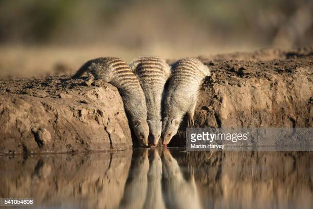 banded mongoose (mungos mungo) drinking at a waterhole at mashatu game reserve. botswana - mangusta foto e immagini stock