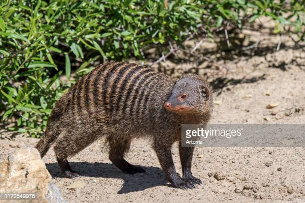 Banded mongoose foraging, native to Africa.