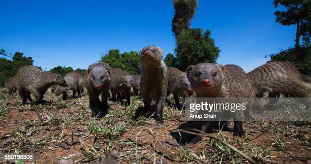 Banded mongoose group approaching with curiosity