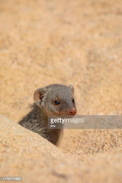 banded mongoose in sunlight - mangusta foto e immagini stock