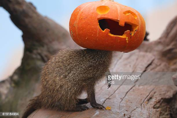 A banded mongoose plays with the pumpkin ahead of the Halloween at the Loca Joy theme park on October 29 2016 in Chongqing China Staff of the Loca...