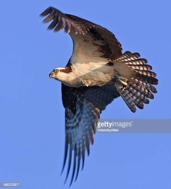 Banded Osprey in Flight