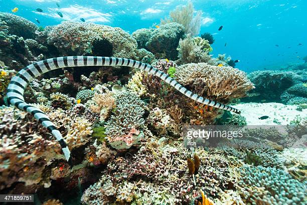 banded sea snake hunting on outer reef, raja ampat, indonesia - raja ampat islands stock photos and pictures