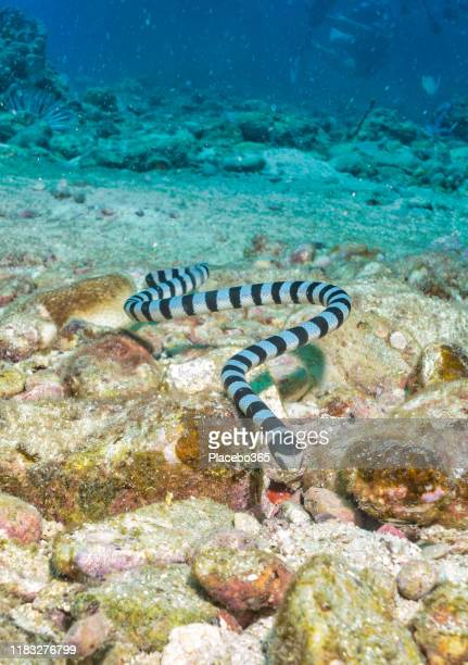 banded sea snake krait (laticauda colubrina) on underwater coral reef - coral snake stock pictures, royalty-free photos & images