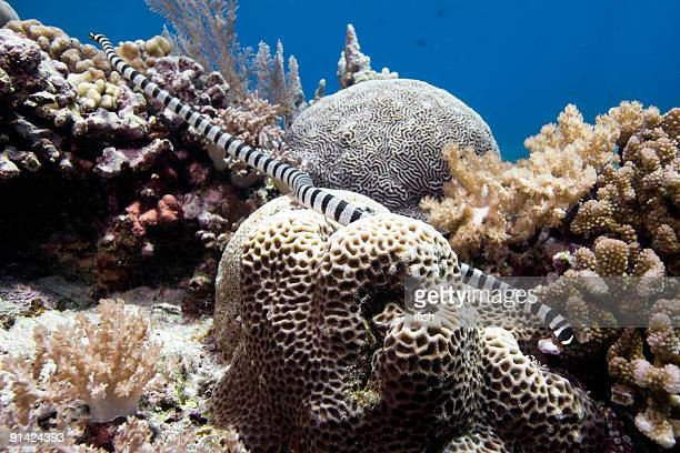 banded sea snake on the coral reef of bunaken island - coral snake stock pictures, royalty-free photos & images