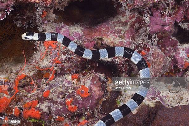 banded sea snake underwater on coral reef - coral snake stock pictures, royalty-free photos & images