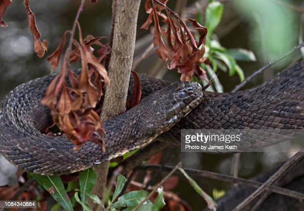 A banded water snake flicks it tongue while coiled around a tree.