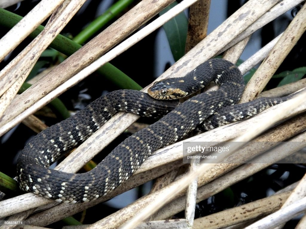 Banded Water Snake (Nerodia fasciata) : Stock Photo