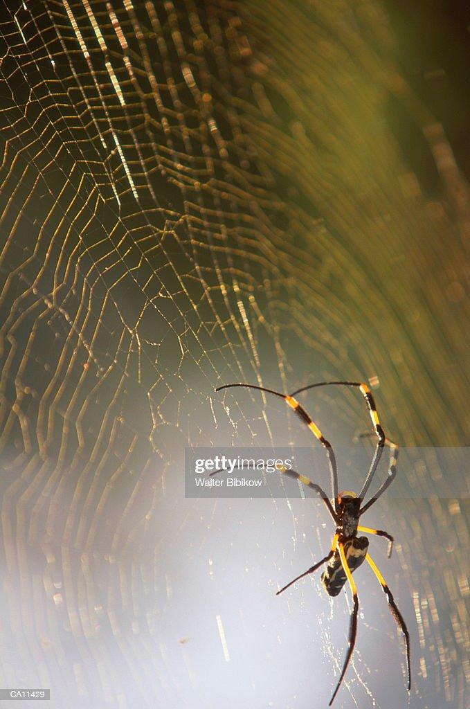 Banded-legged golden orb-web spider (Nephila senegalensis annulata) : Foto de stock
