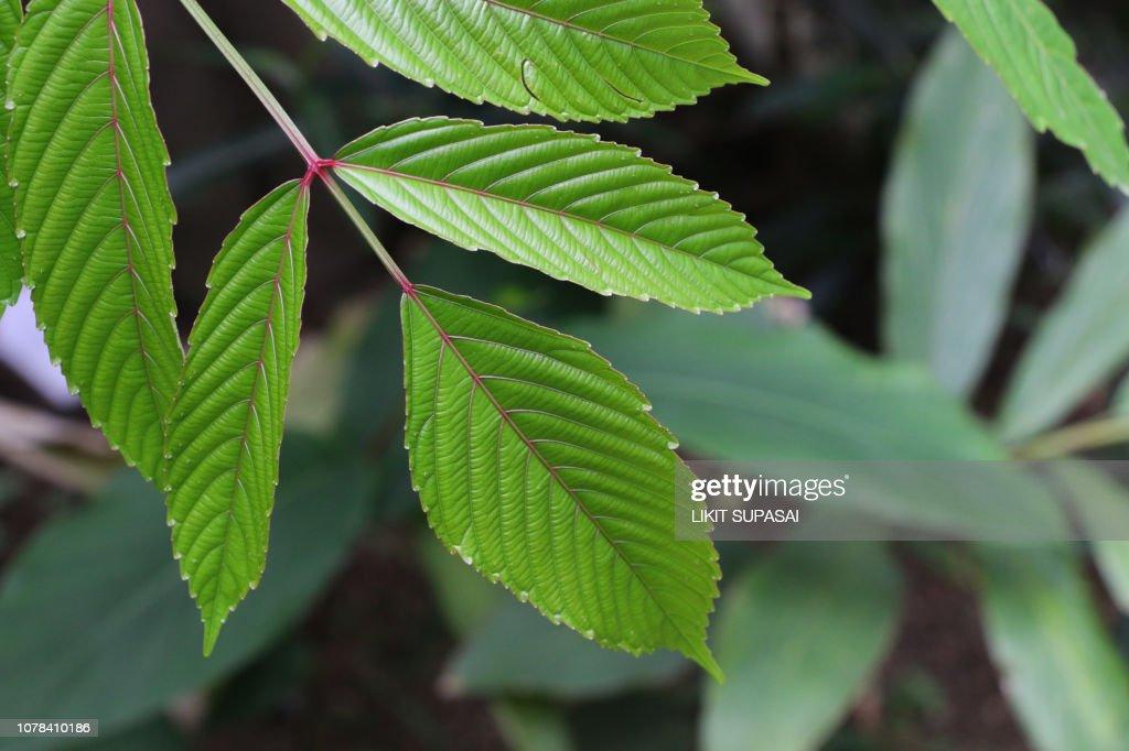 Bandicoot Berry at garden : Stock Photo