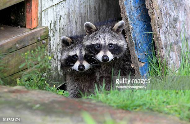 bandits - raccoon stock pictures, royalty-free photos & images