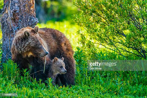 banff national park in alberta canada - grizzly bear stock pictures, royalty-free photos & images