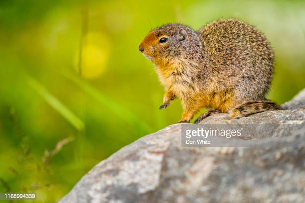banff national park in alberta canada - funny groundhog stock photos and pictures