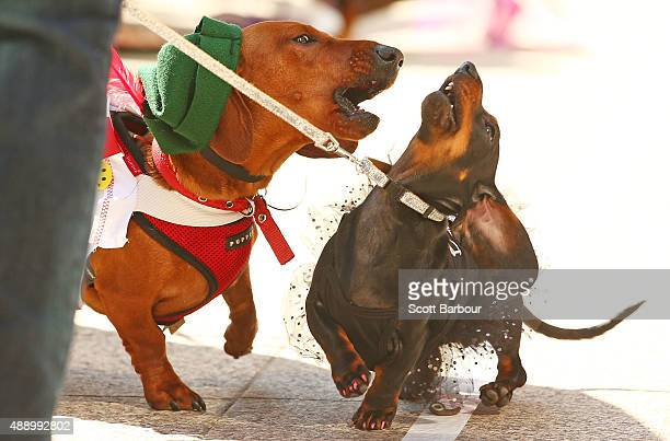 Bangers the mini dachshund barks at a compeitor as they compete in the Hophaus Southgate Inaugural Dachshund Running of the Wieners Race on September...