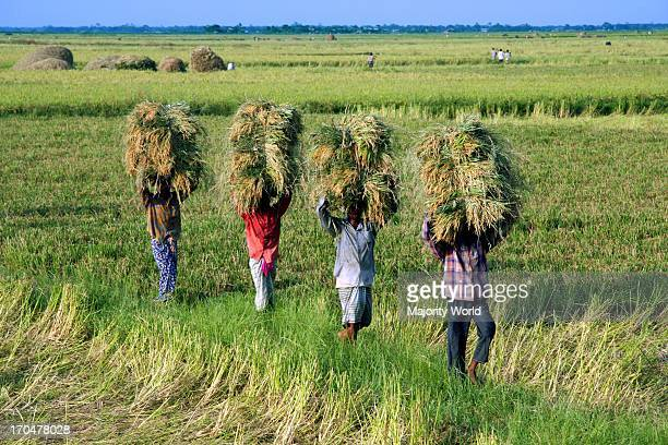 Bangladesh had a good harvest of Boro one of the three annual harvests this year The yield reached nearly 60 percent of the countrys rice yield...