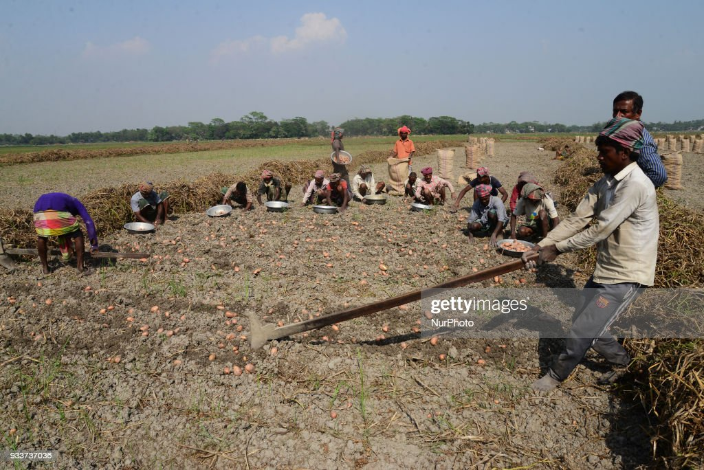 Potato Harvesting in Dhaka