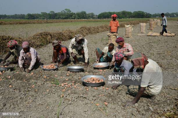Bangladeshi agricultural workers harvesting potato from the fields in Munshiganj near Dhaka Bangladesh on March 18 2018