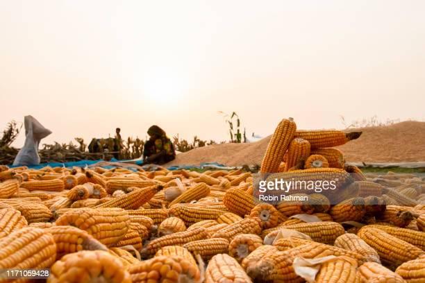 bangladeshi farmer maize drying in open field - バングラデシュ ストックフォトと画像