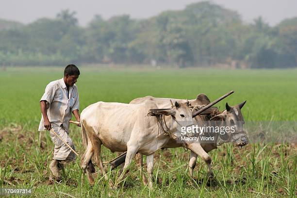 A Bangladeshi Farmer ploughs by cattle in Paddy Fields at Jessore on February 27 2007 Rice is the main crop of Bangladesh