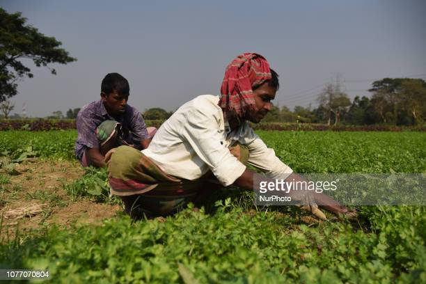 Bangladeshi Farmers are collecting vegetable on a field outside of Dhaka Bangladesh on January 3 2019 Vegetable production is contributing to the...