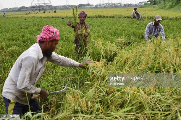 Bangladeshi farmers cutting and collects paddy after harvest at Gabtoli in Dhaka, Bangladesh, On May 10, 2017. Bangladeshi farmers cutting and...
