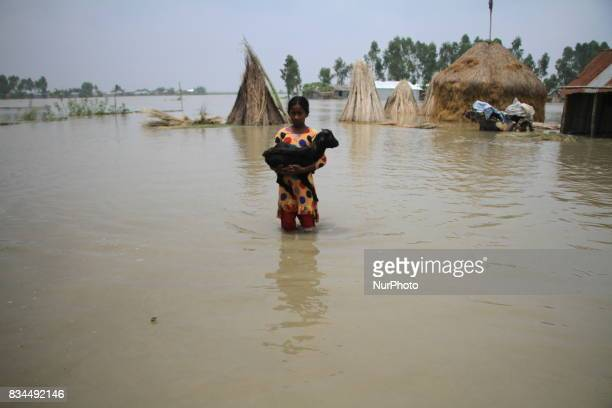 A Bangladeshi girl belong cattle moving to shelter center in Gaibandha northern Bangladesh on August 15 2017 More than 50 people have died in flood...