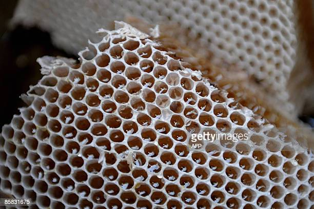 Bangladeshi honey collectors 'Mowali' display a full honeycombs after collecting it from a mangrove forest of The Sundarbans near Khulna some 350kms...