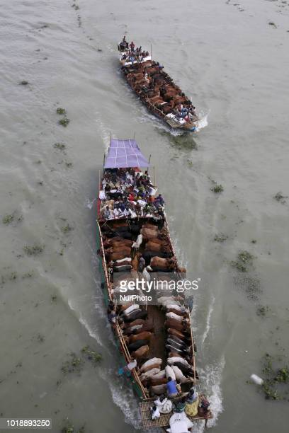 Bangladeshi men transport cows on a boat to sell them at a cattle market in Dhaka Bangladesh on August 18 ahead of Eidal Adha the feast of the...
