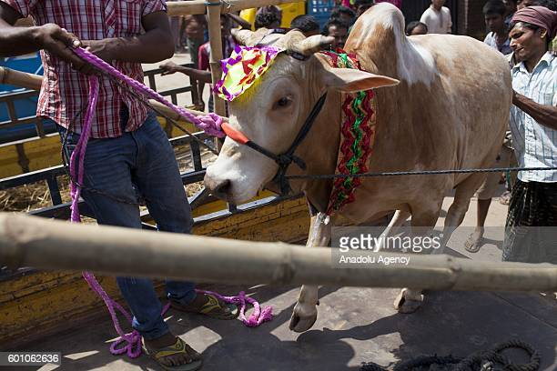 Bangladeshi muslims purchase cattle to sacrifice them for upcoming festival Eid AlAdha in Dhaka Bangladesh on September 09 2016 Muslims in Bangladesh...