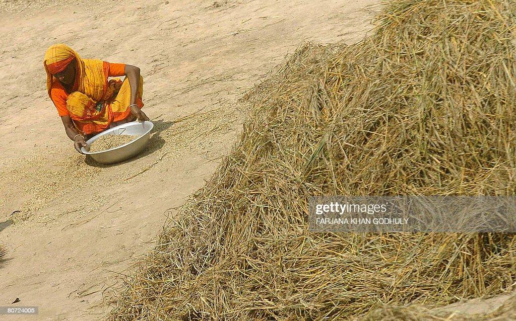 A Bangladeshi woman collects paddy at Ti : News Photo