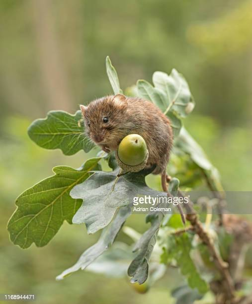 bank vole on branch with acorn - rodent stock pictures, royalty-free photos & images