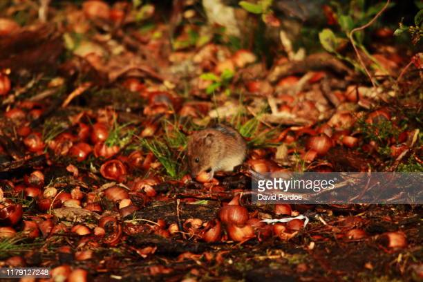 wood mouse (apodemus sylvaticus) - field mouse stock pictures, royalty-free photos & images