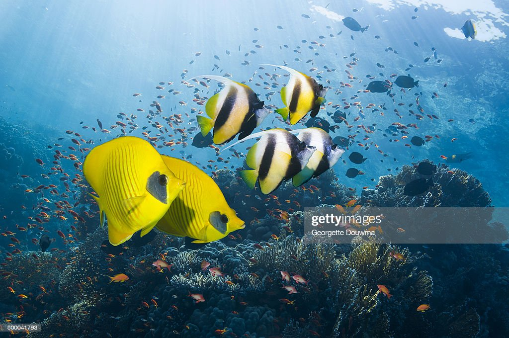 Bannerfish and butterflyfish : Stock Photo
