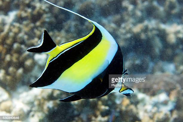 A bannerfish