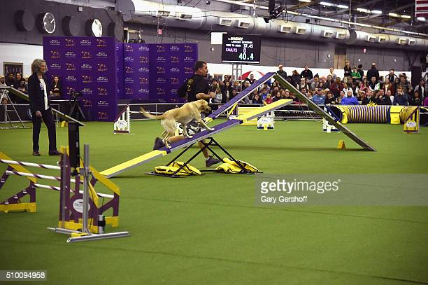 Banshee a Labrador Retriever competes in the Westminster Kennel Club and AKC Meet and Compete at Pier 92 on February 13 2016 in New York City