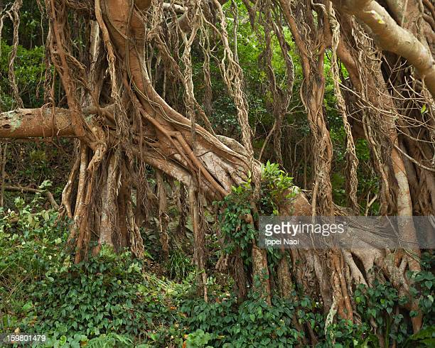Banyan fig tree in forest, Goto Islands
