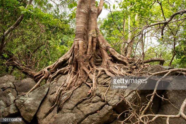 banyan root - tree roots stock pictures, royalty-free photos & images