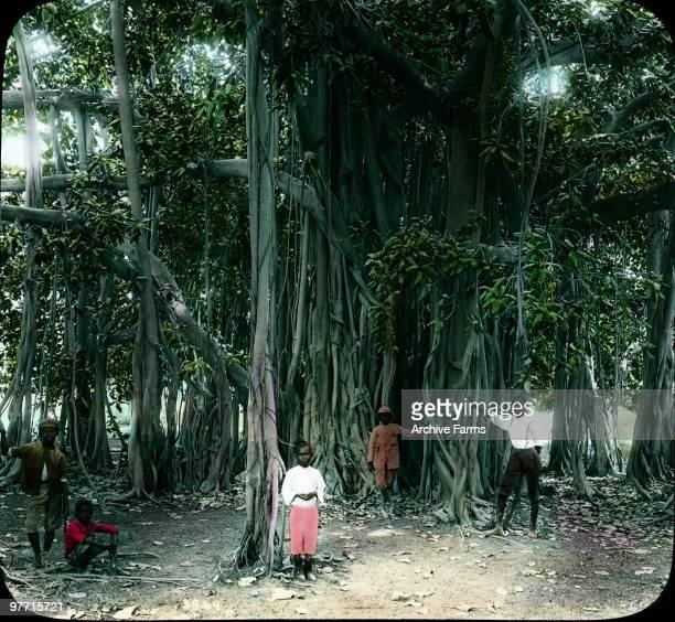 Banyan tree forest Jamaica